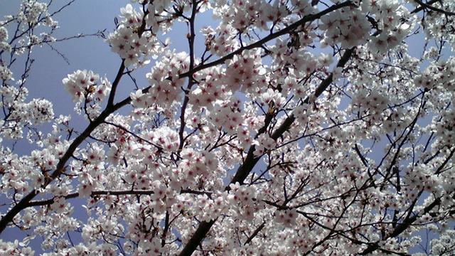 滋賀県朽木の桜